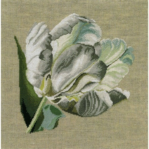 Tulipán Blanco